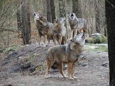 Userpage Von Einsamer Wolf Coolgelassen Einsam Streifend Umher